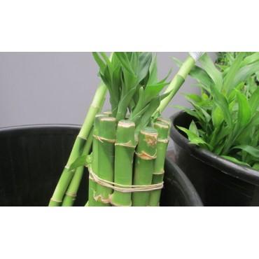Bambu caña 30 cm