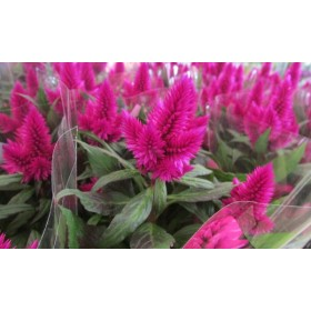 "Celosia ""Deep Purple"""