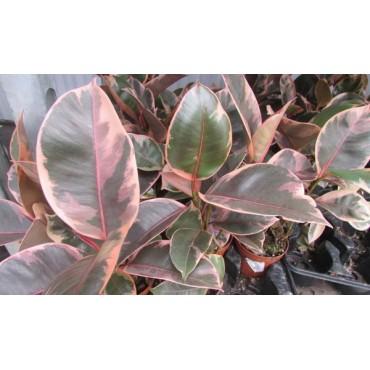 Ficus belize