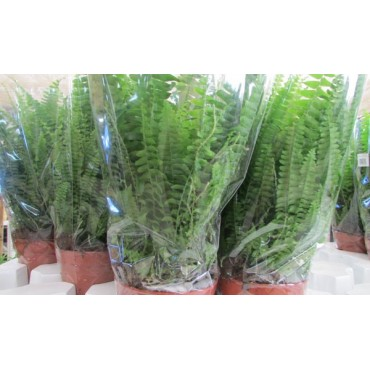 "Nephrolepis ""Green Lady"""