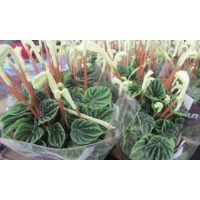 Nolina buschy (Beaucarnea)