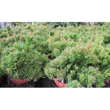 Rhipsalis mesembryanthemum