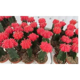 Cactus mix (3 unidades)