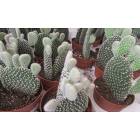 Cereus opuntia