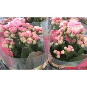 """Kalanchoe mini flor doble """"Rosa Grandiva"""""""