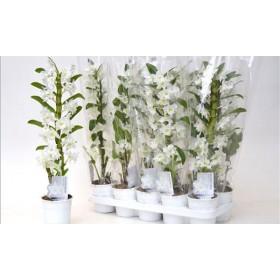 Dendrobium 60cm. 1-vara nobile BLANCO MULTIFLORA