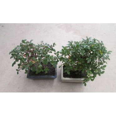 Bonsai 5 años Zelkova parvifolia