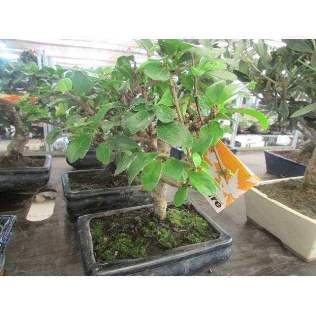 Bonsai 5 años Carmona microphylla