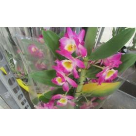 Dendrobium 50cm. nobile MULTIFLORA LILA