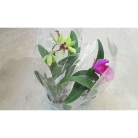 Ludisia discolor 5/6 flores
