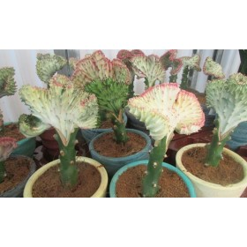 Euphorbia tirucalli 25 cm