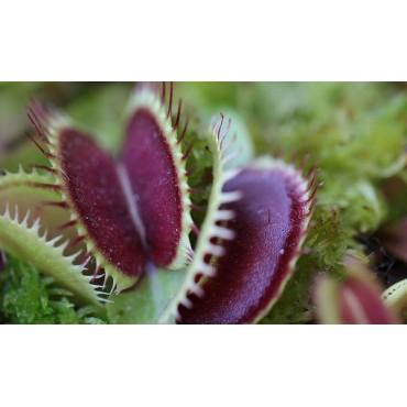 "Dionaea ""Big Mouth"""
