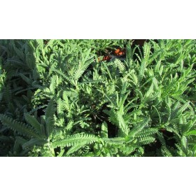 Lavandula heterophylla