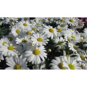 Argyranthemum frutescens (flor blanca)