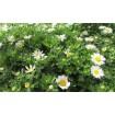 Chrysanthemum maximum
