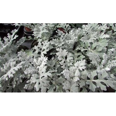 Cineraria gris