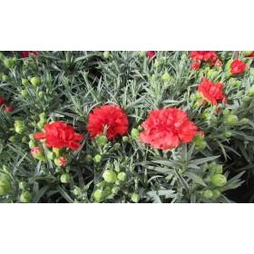 Dianthus carnelia (clavel)