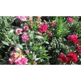 Dianthus caryophyllus (Clavel)