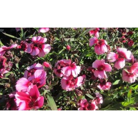 Dianthus Raspberry