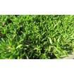 Mesembryanthemum pisable